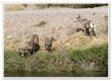 Bighorn Sheep -  photo 4 of 6