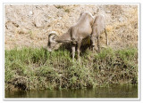 Bighorn Sheep -  photo 5 of 6