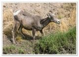 Bighorn Sheep -  photo 6 of 6