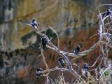 Loch Ard Gorge Swallows.jpg
