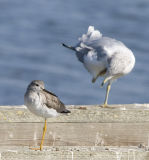 Yellowlegs and Ring-billed Gull