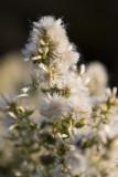 Coyote Brush (Baccharis pilularis) in seed