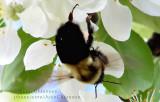 Bourdon - Insecte hyménoptère au corps lourd et velu qui butine comme l'abeille