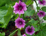 Fleurs sauvages -  Wildflower