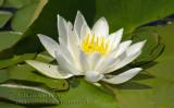 Fleurs sauvages - Nénuphar  Wildflower Parc national de plaisance