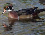 Canard Branchu  (  Wood Duck