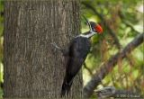 Pileated Woodpecker Juvenile