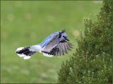 blue-fly.jpg