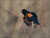 RedWinged Blackbird
