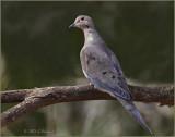 Mourning-Dove.jpg