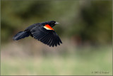 Red Winged Blackbird on the Wing