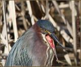 Green Heron Gag Reflex