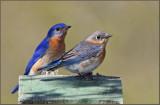 Eastern Bluebird Male and female