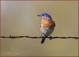 Eastern Bluebird Male