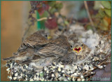 Baby House Finches in a Wreath