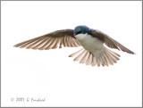 Flight-Swallow.jpg