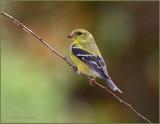 Goldenfinch.jpg