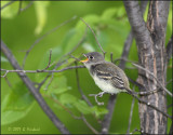 Least Flycatcher Youngster needs a snack