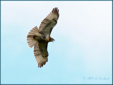 Red Tailed Hawk Juvenile