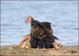 Vulture ( Turkey Vulture) GRAPHIC Image