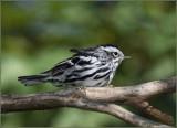Black-and-White-Warbler.jpg