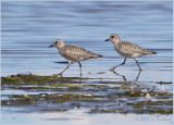 Two Black Bellied Plovers