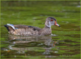 Wood Duck on Green