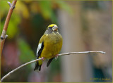 Make That Two Evening Grosbeaks in October