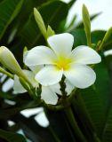 A Plumeria Flower