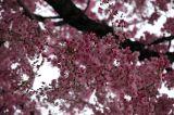 Pink sakura tree