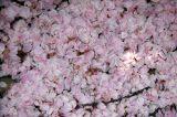 Sakura Patels on the ground