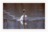 Swan - Cigno (Cygnus cygnus)