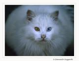 Domestic Cat - Gatto domestico
