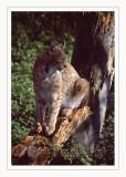 Linx - Lince europea (Lynx linx)