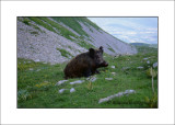Wild boar - Cinghiale (Sus scrofa)