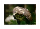 Buzzard - Poiana (Buteo buteo Linnaeus)