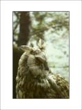 Eurasian eagle owl - Gufo reale (Bubo bubo)