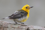 Prothonotary Warbler (molting)