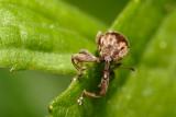 Weevil (Furcipus rectirostris, Kirschkernstecher)
