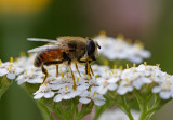 Side view of Eristalis tenax, a hoverfly