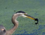 Heron&Carp_6769.jpg