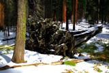 SequoiaNP_8219.jpg