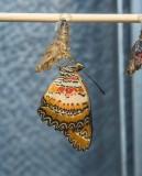 Malay Lacewing just emerged
