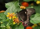 Green Swallowtail (Papilio blumei)