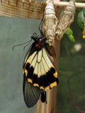 just emerged Great Mormon Swallowtail (Papilio memnon)