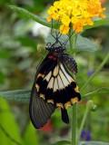 NEW Papilio memnon on lantana