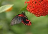 Papilio memnon feeding