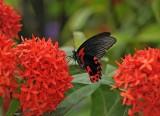 Papilio memnon feeding 2