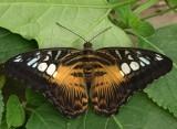 Brown Clipper (Parthenos sylvia)
