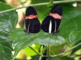 Mating Postman butterflies ...
